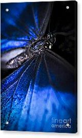 Open Wings Of Blue Morpho Butterfly Acrylic Print