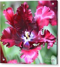 Opened Tulip Acrylic Print by Kathleen Struckle