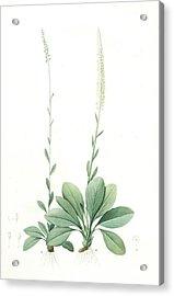 Ophiostachys Virginica, Chamaelirium Luteum Ophiostachys De Acrylic Print by Artokoloro