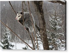 Opossum In A Tree Acrylic Print