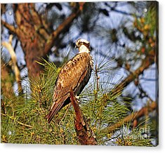 Opulent Osprey Acrylic Print by Al Powell Photography USA
