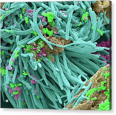 Oral Bacteria Acrylic Print by Steve Gschmeissner