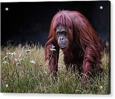 Orang-utan With Butterfly. Acrylic Print by Hugh Wilkinson