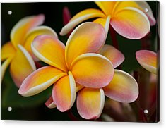 Orange And Pink Plumeria Acrylic Print by Roger Mullenhour