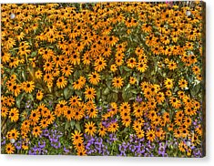 Orange And Purple Daises Acrylic Print