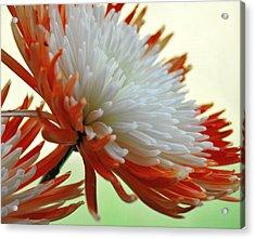 Orange And White Flower Acrylic Print