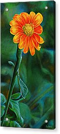 Orange Aster Acrylic Print by Cara Bevan
