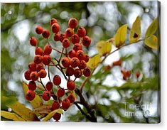 Orange Autumn Berries Acrylic Print