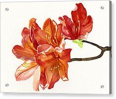 Orange Azaleas Acrylic Print by Sharon Freeman
