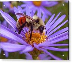 Orange-banded Bee Acrylic Print by Rona Black