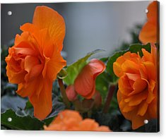 Orange Beauties Acrylic Print
