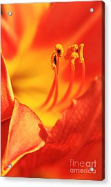 Orange Blooming Acrylic Print