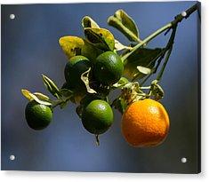 Orange Branch Acrylic Print