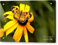 Orange Butterfly Acrylic Print by Lena Auxier
