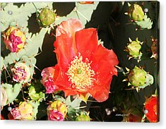 Acrylic Print featuring the photograph Orange Cactus Bloom by Dick Botkin