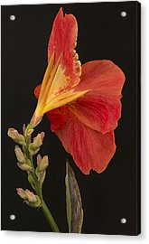 Orange Canna Flower Acrylic Print by Denis Darbela