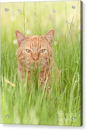 Orange Cat In Green Grass Acrylic Print
