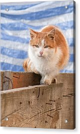 Orange Cat  Acrylic Print