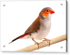 Acrylic Print featuring the photograph Orange-cheeked Waxbill Estrilda Melpoda by David Kenny