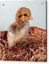 Orange Chick Acrylic Print