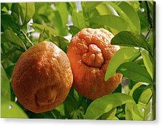 Orange (citrus Sinensis) Tree In Fruit Acrylic Print by Adrian Thomas