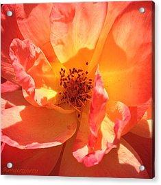 Orange Confection Rose Acrylic Print