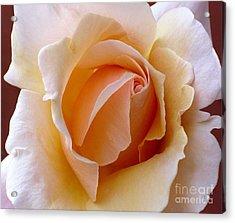 Orange Cream Rose Acrylic Print
