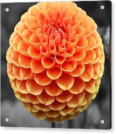 Orange Dahlia Acrylic Print by Sumit Mehndiratta