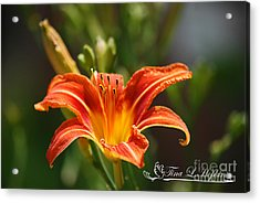 Orange Day Lily 20120614_5a Acrylic Print by Tina Hopkins