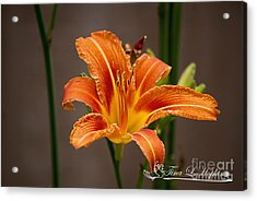Orange Day Lily 20120620_27a Acrylic Print by Tina Hopkins