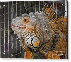 Orange Dragon  Acrylic Print by Erick Schmidt