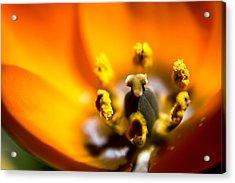 Orange Flower Acrylic Print by Mari Cody