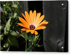 Acrylic Print featuring the photograph Orange Flower by Paula Brown