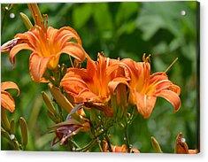 Orange Flower Trio Acrylic Print