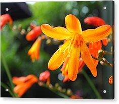 Orange Flowers Acrylic Print by Jason Davies
