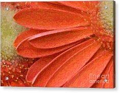 Orange Gerber Daisy Painting Acrylic Print