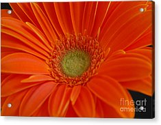 Acrylic Print featuring the photograph Orange Gerber Daisy by Patrick Shupert