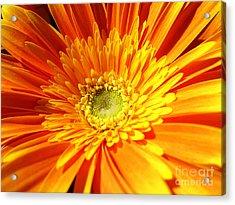 Orange Gerbera Acrylic Print