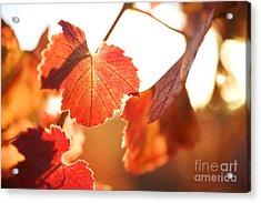Orange Grapevine Leaves Acrylic Print by Charmian Vistaunet