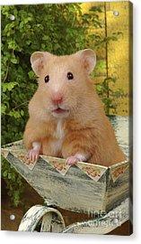 Orange Hamster Ha106 Acrylic Print by Greg Cuddiford