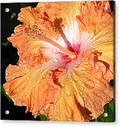 Orange Hibiscus After The Rain Acrylic Print by Connie Fox