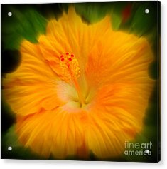 Orange Hibiscus Flower Acrylic Print by Clare Bevan