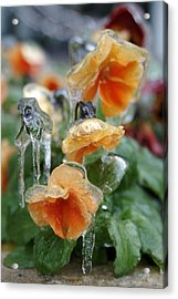 Orange Iced Pansies Acrylic Print