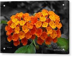 Orange Lantana Acrylic Print