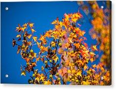 Orange Leaves Acrylic Print by Mike Lee