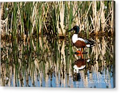 Northern Shoveler Orange Legs Acrylic Print
