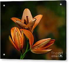 Acrylic Print featuring the photograph Orange Lilies by Shirley Mangini