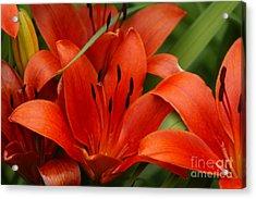 Orange Lilly Acrylic Print