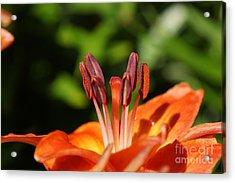 Orange Lily Acrylic Print by Zori Minkova