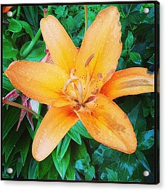 #orange #lily After The #rain Is Still Acrylic Print